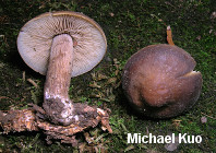 Agrocybe firma