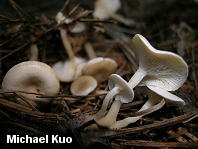 Clitocybe glutiniceps