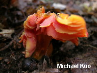 Hygrocybe punicea