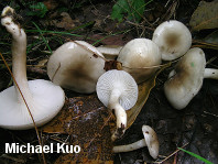 Hygrophorus occidentalis