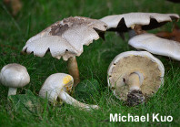 Agaricus placomyces