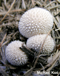 Lycoperdon curtisii