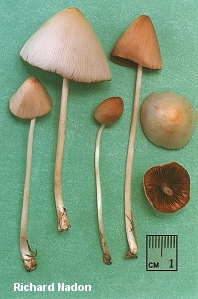 Conocybe albipes