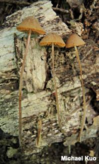 MushroomExpert Com