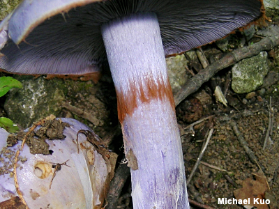 Ring zone on the stem of a Cortinarius species