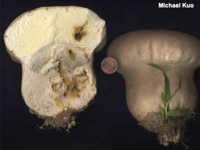 Sterile base of Calvatia cyathiformis